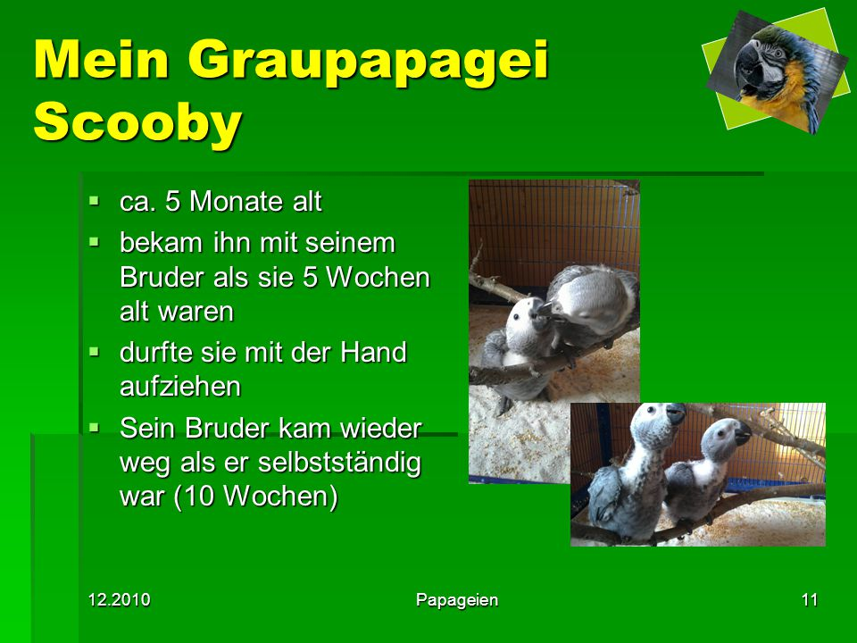 Mein Graupapagei Scooby