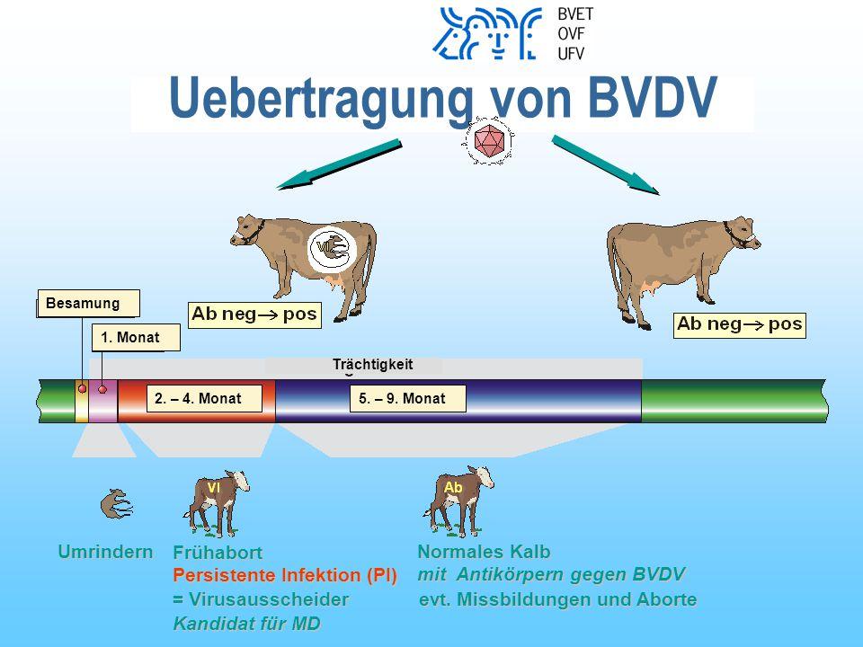 Uebertragung von BVDV Umrindern Frühabort Normales Kalb