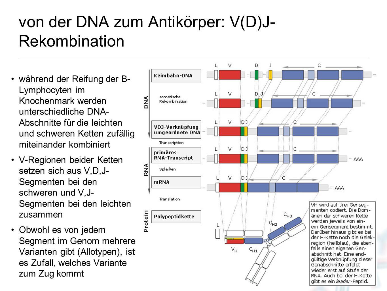 von der DNA zum Antikörper: V(D)J-Rekombination