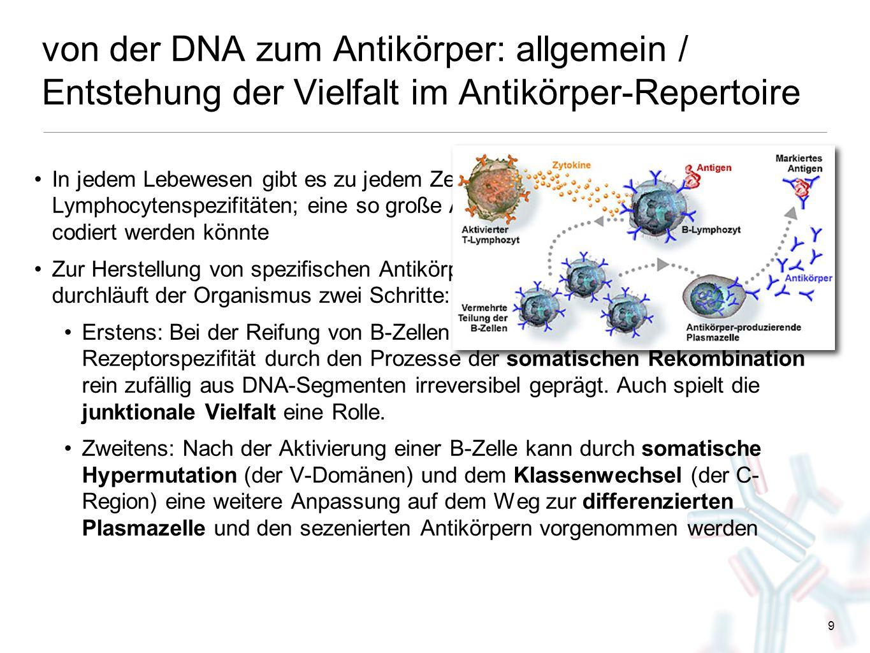 von der DNA zum Antikörper: allgemein / Entstehung der Vielfalt im Antikörper-Repertoire