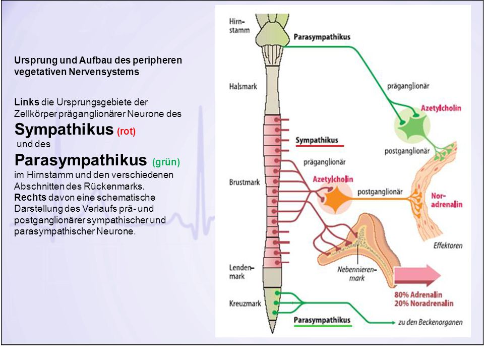 Parasympathikus (grün)