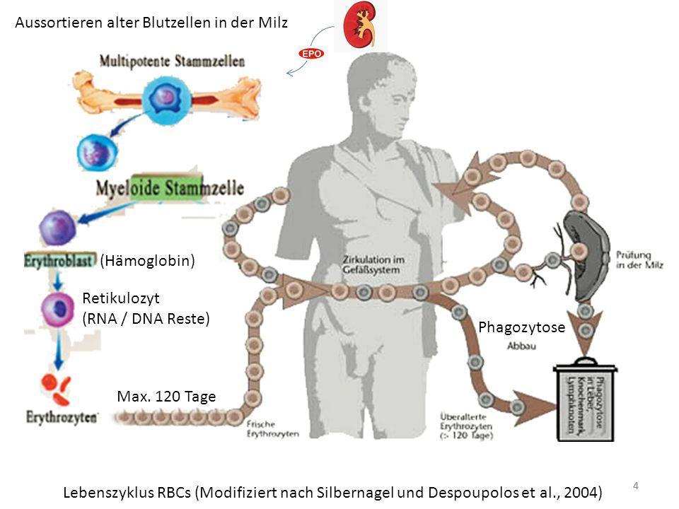 Aussortieren alter Blutzellen in der Milz