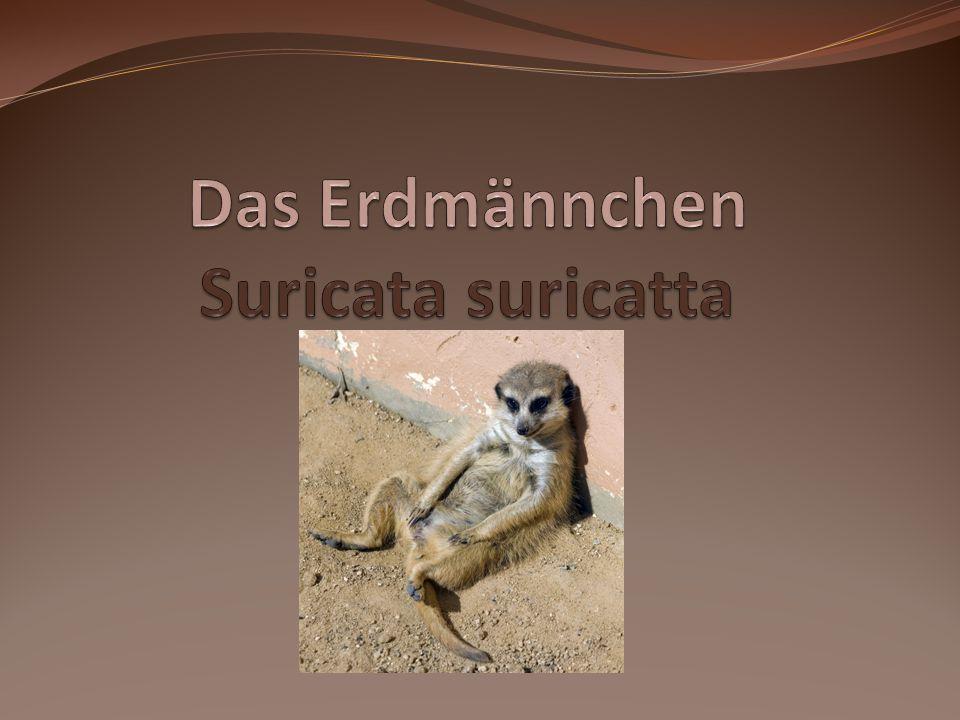 Das Erdmännchen Suricata suricatta