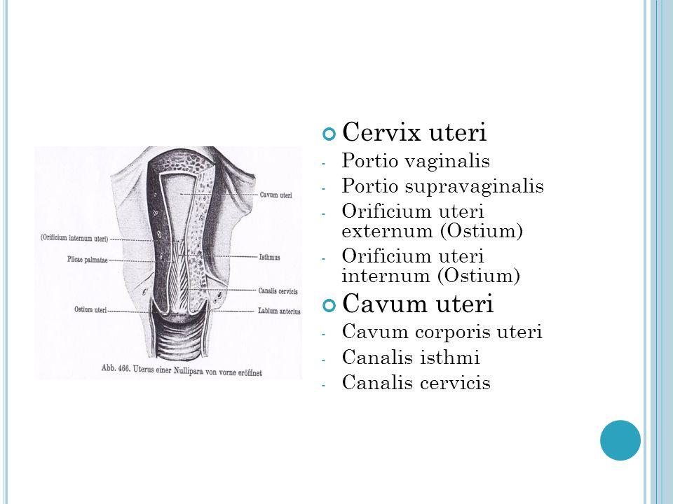 Cervix uteri Cavum uteri Portio vaginalis Portio supravaginalis
