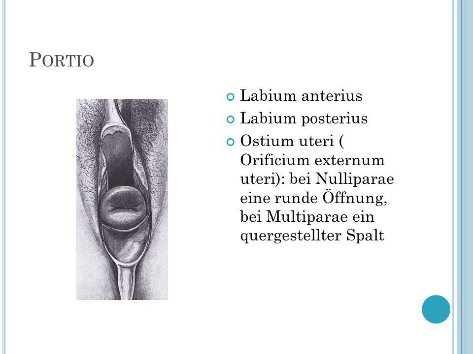 Portio Labium anterius Labium posterius