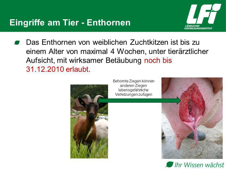 Eingriffe am Tier - Enthornen