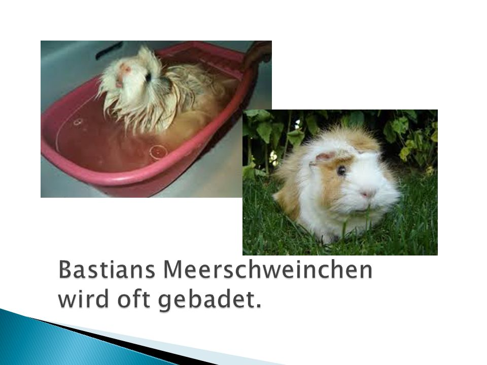 Bastians Meerschweinchen wird oft gebadet.