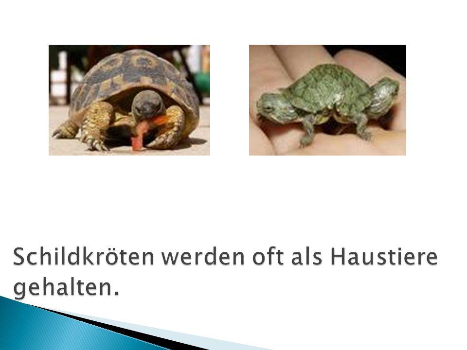 Schildkröten werden oft als Haustiere gehalten.