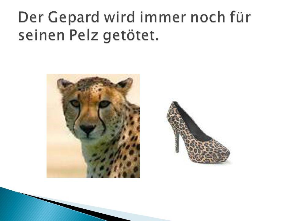 Der Gepard wird immer noch für seinen Pelz getötet.