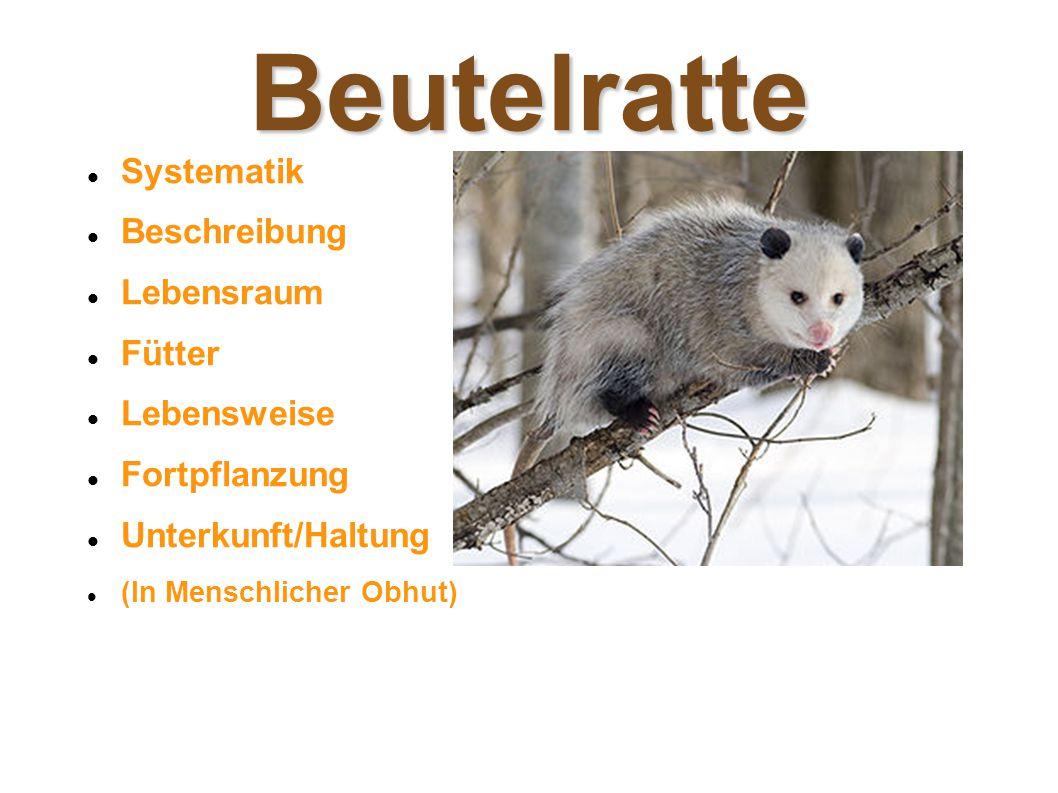 Beutelratte Systematik Beschreibung Lebensraum Fütter Lebensweise