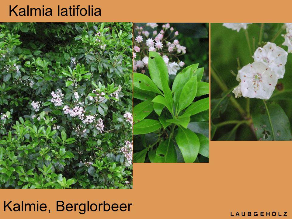 Kalmia latifolia Kalmie, Berglorbeer L A U B G E H Ö L Z