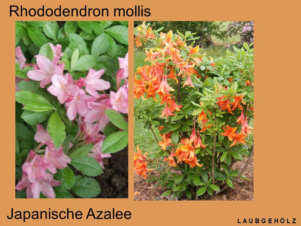 Rhododendron mollis Japanische Azalee L A U B G E H Ö L Z