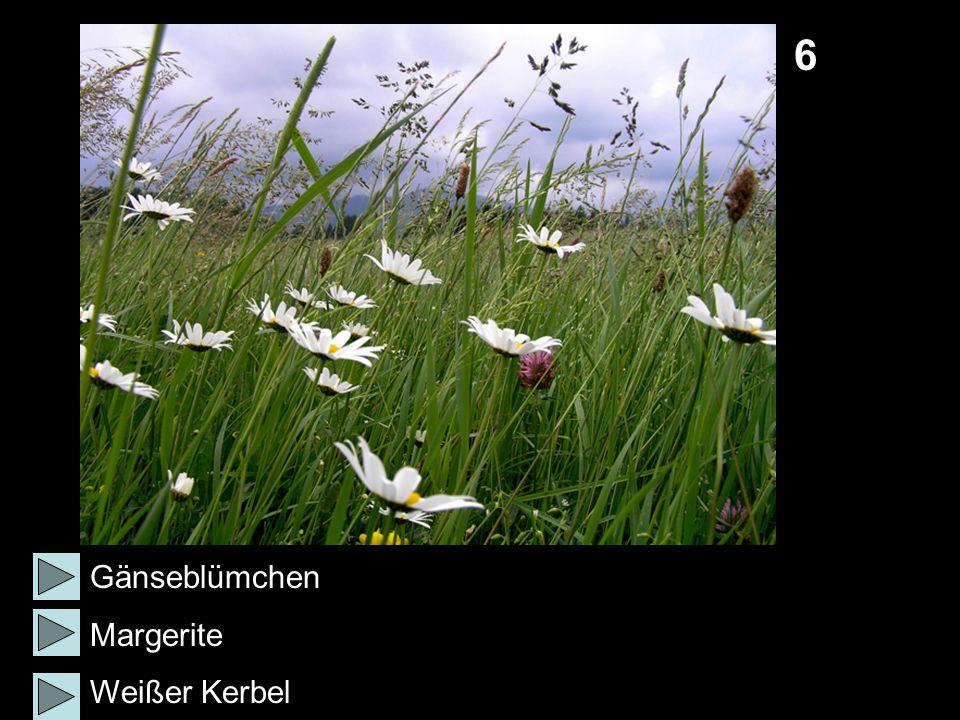 6 Gänseblümchen Margerite Weißer Kerbel