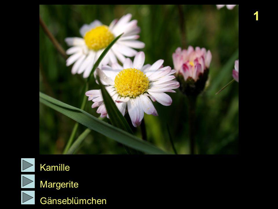 1 Kamille Margerite Gänseblümchen