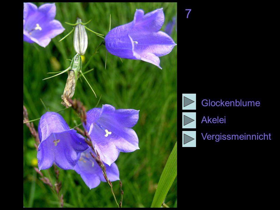 7 Glockenblume Akelei Vergissmeinnicht
