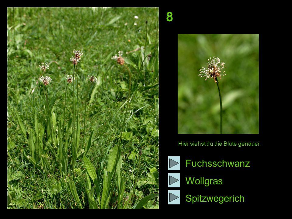 8 Fuchsschwanz Wollgras Spitzwegerich