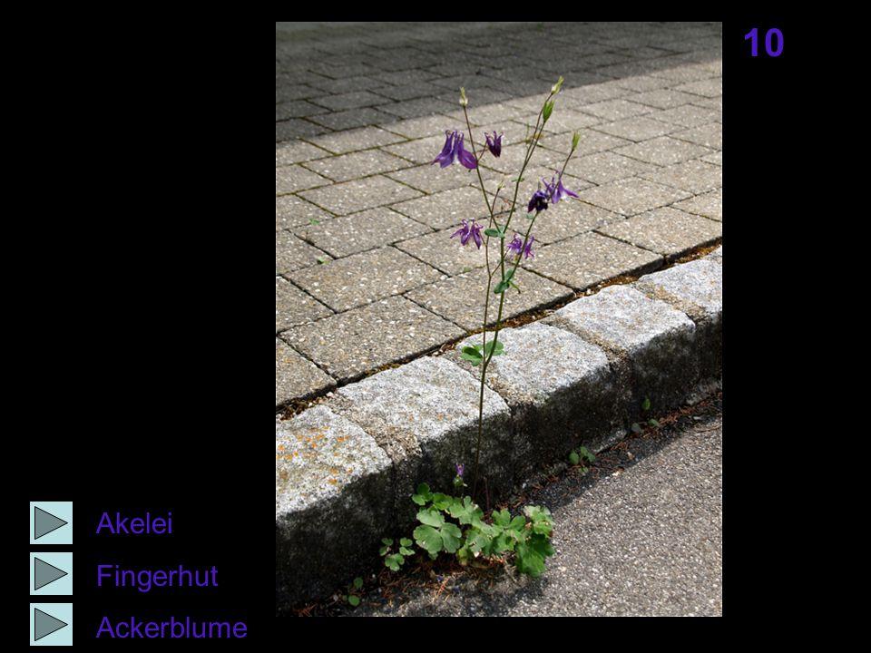 10 Akelei Fingerhut Ackerblume