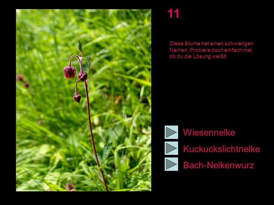 11 Wiesennelke Kuckuckslichtnelke Bach-Nelkenwurz