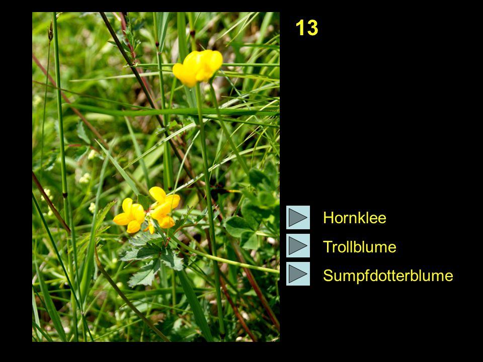 13 Hornklee Trollblume Sumpfdotterblume
