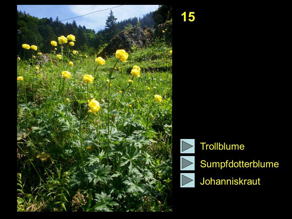 15 Trollblume Sumpfdotterblume Johanniskraut