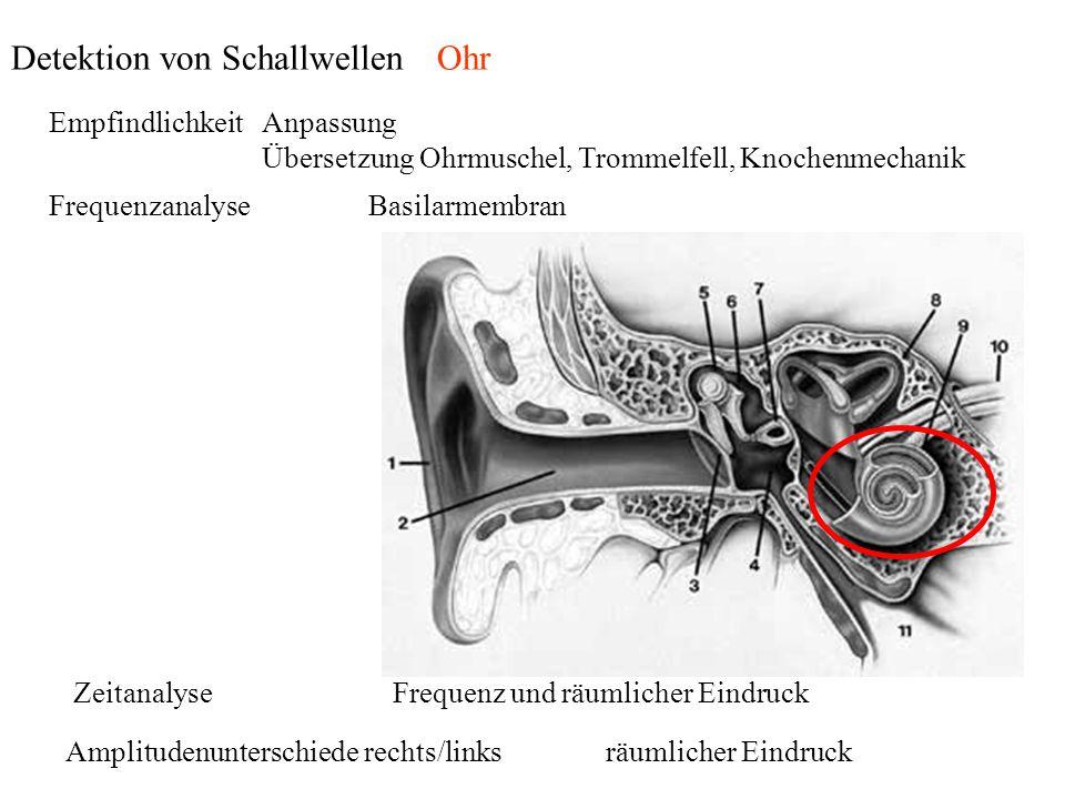 Detektion von Schallwellen Ohr