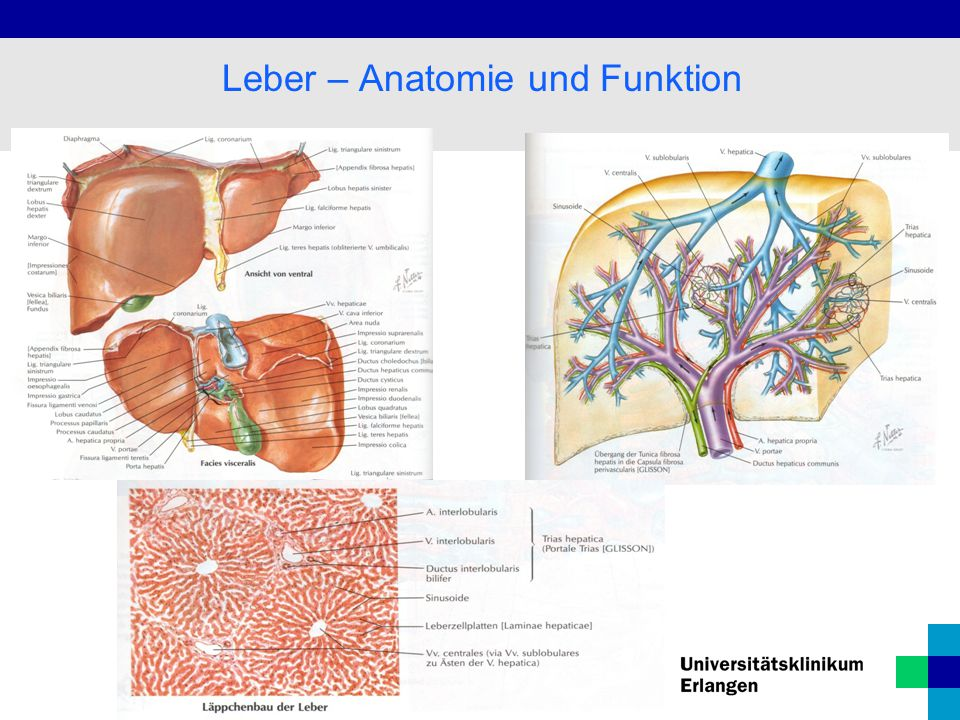 Leber – Anatomie und Funktion