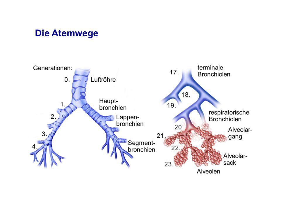 Die Atemwege