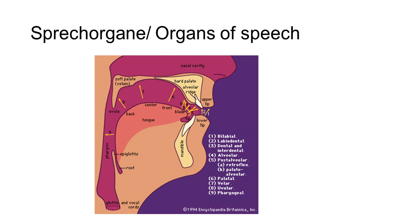 Sprechorgane/ Organs of speech
