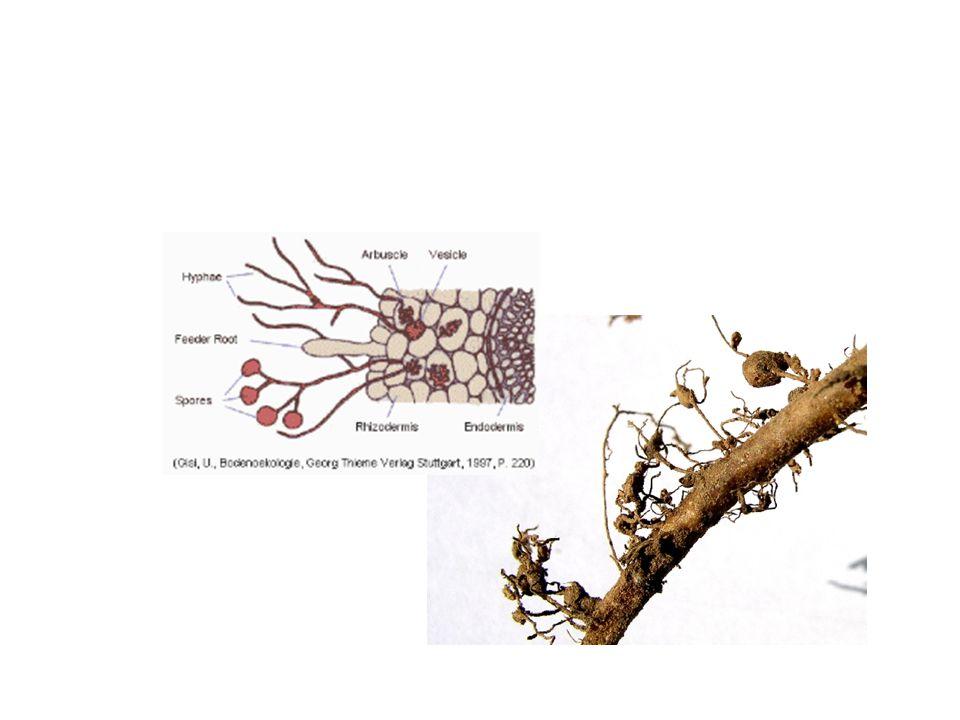 Wurzelknöllchenbakterien