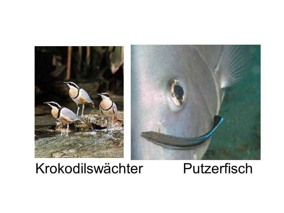 Mutualismus Krokodilswächter Putzerfisch