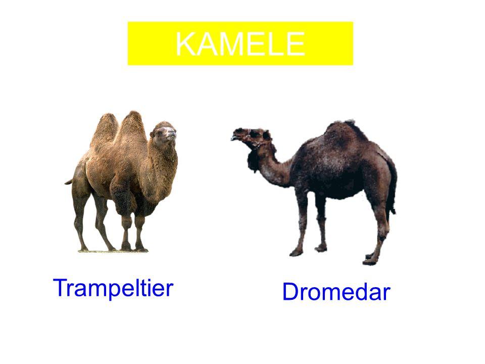 KAMELE Trampeltier Dromedar
