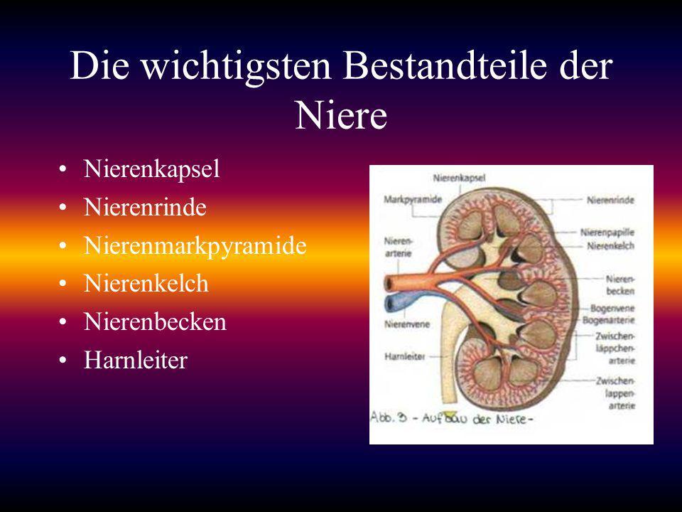Die wichtigsten Bestandteile der Niere