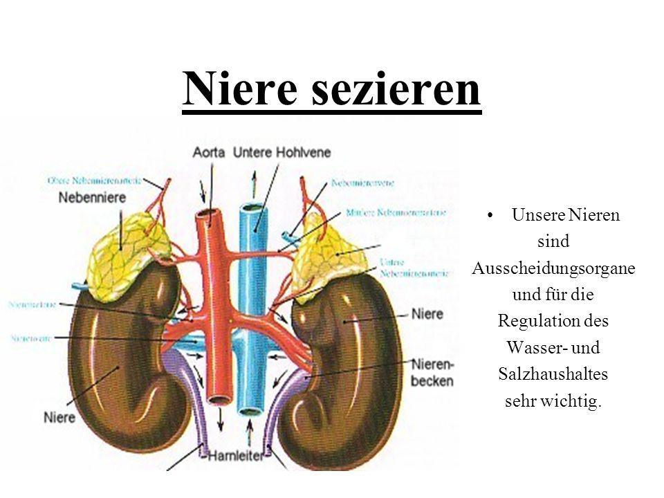 Niedlich Linke Niere Anatomie Zeitgenössisch - Anatomie Ideen ...