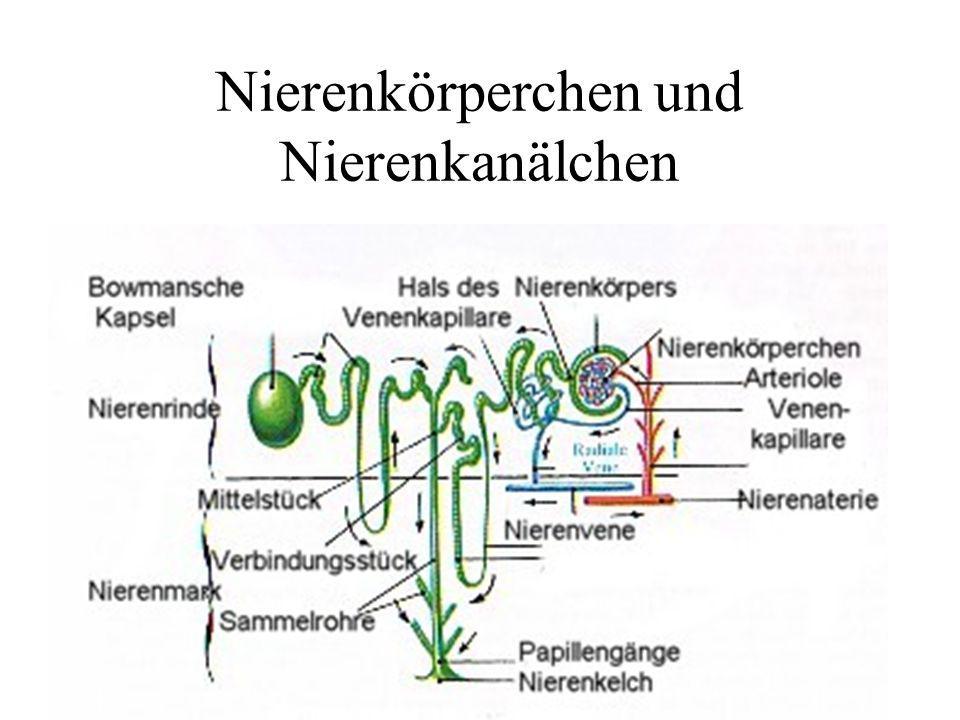 Nierenkörperchen und Nierenkanälchen