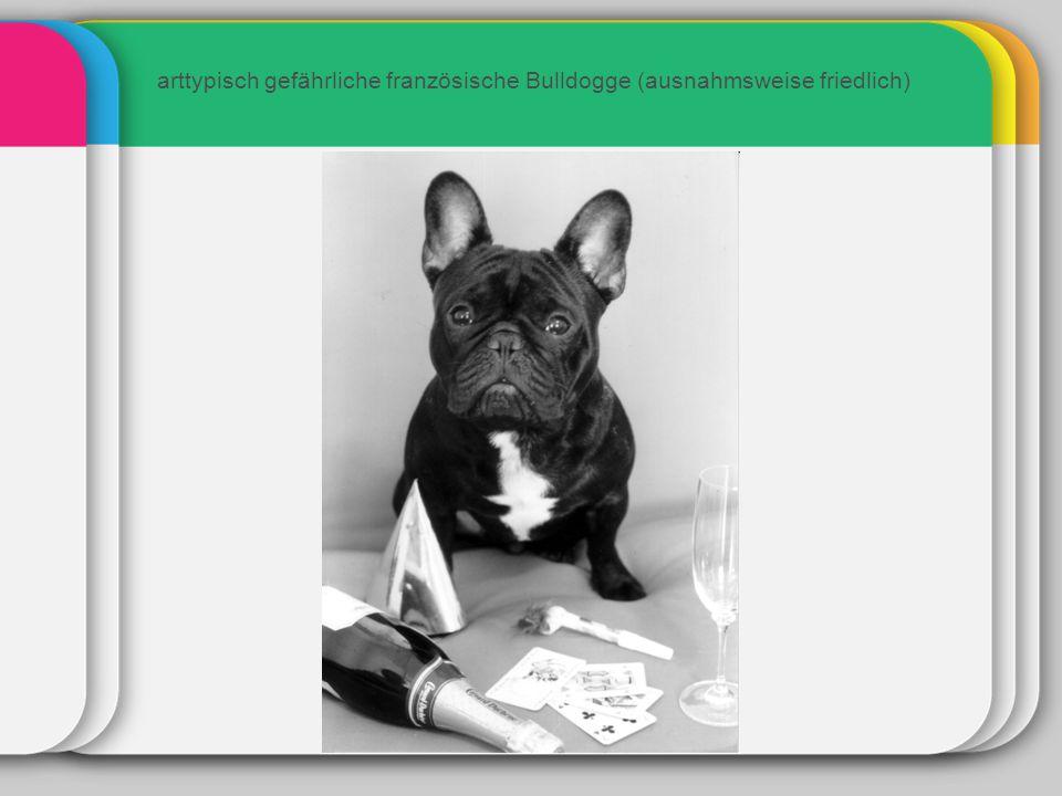 arttypisch gefährliche französische Bulldogge (ausnahmsweise friedlich)