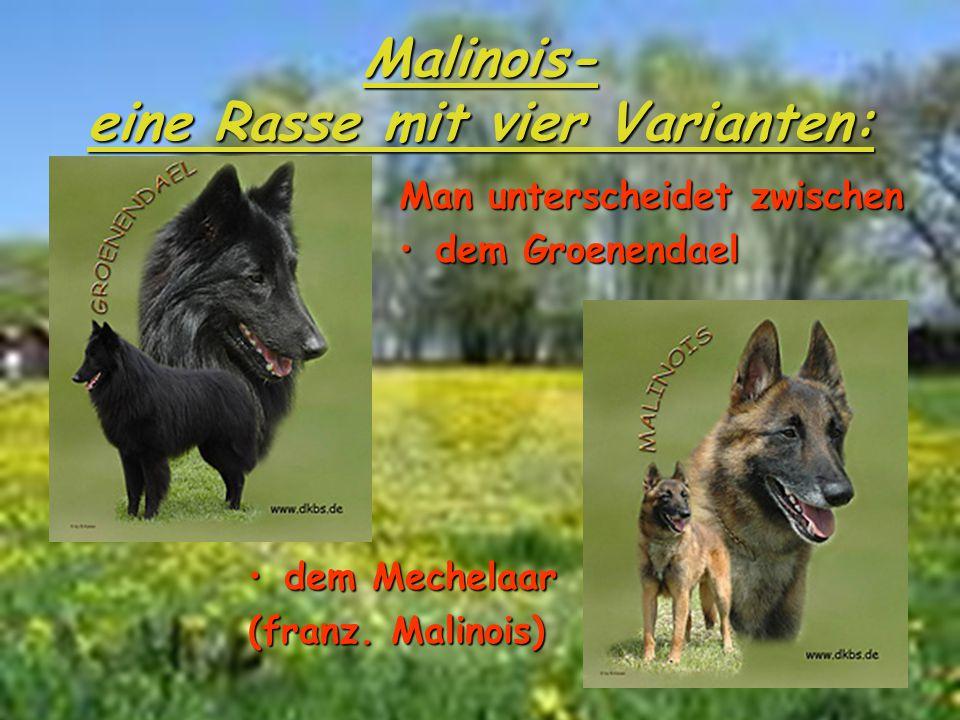 Malinois- eine Rasse mit vier Varianten: