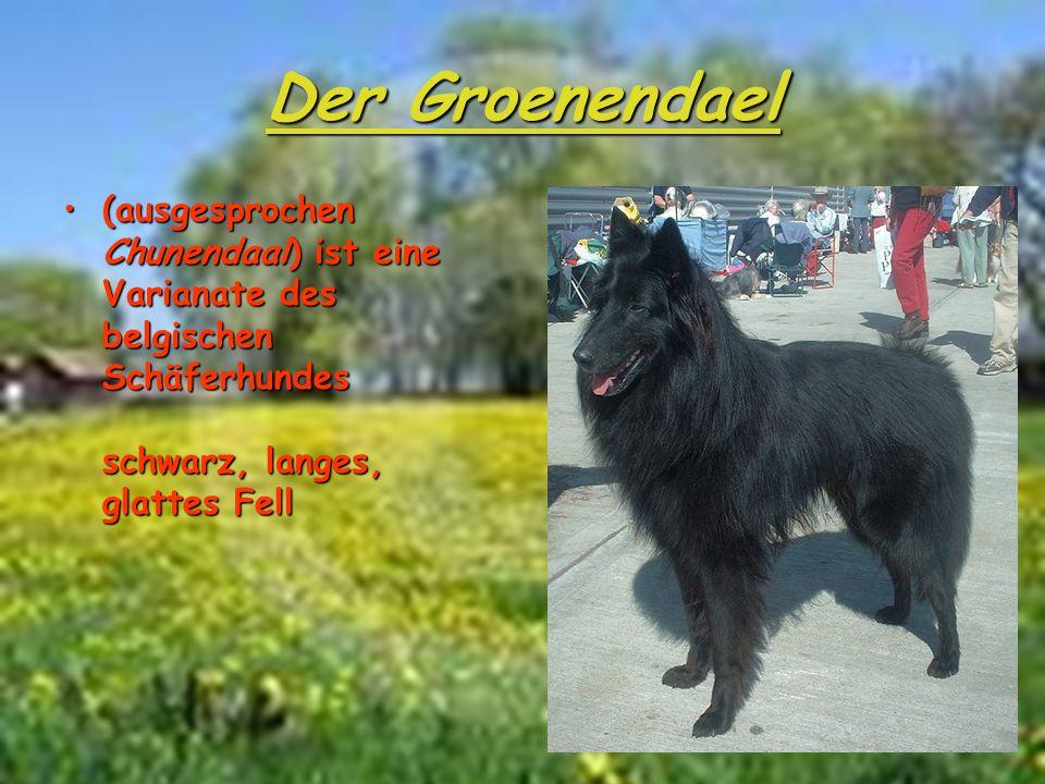 Der Groenendael (ausgesprochen Chunendaal) ist eine Varianate des belgischen Schäferhundes schwarz, langes, glattes Fell.