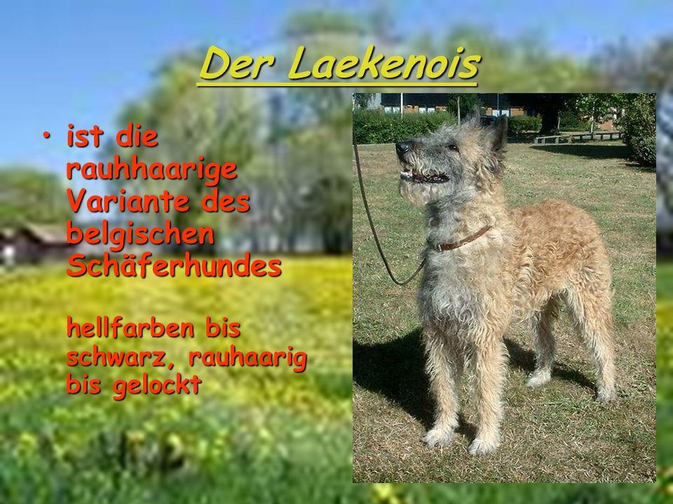 Der Laekenois ist die rauhhaarige Variante des belgischen Schäferhundes hellfarben bis schwarz, rauhaarig bis gelockt.