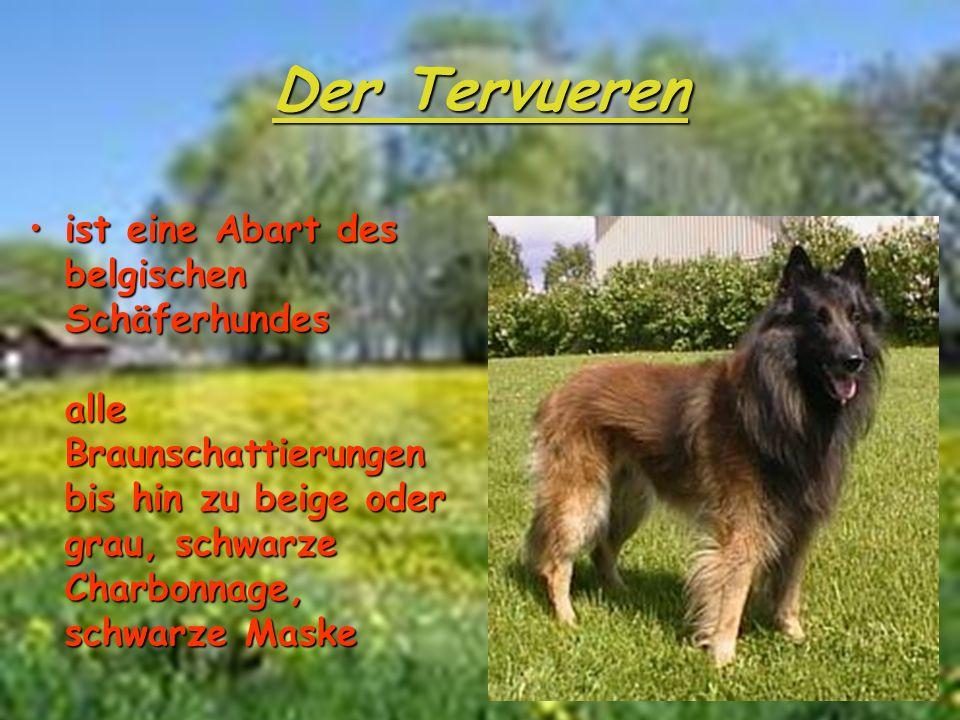 Der Tervueren ist eine Abart des belgischen Schäferhundes alle Braunschattierungen bis hin zu beige oder grau, schwarze Charbonnage, schwarze Maske.