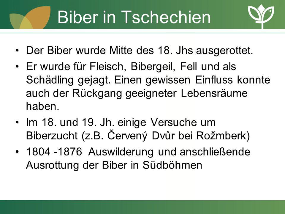 Biber in Tschechien Der Biber wurde Mitte des 18. Jhs ausgerottet.