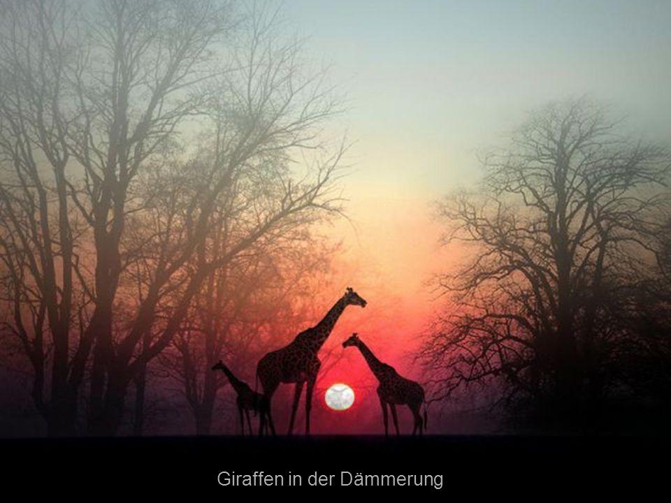 Giraffen in der Dämmerung