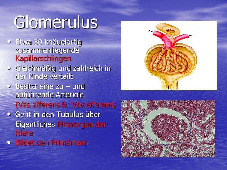 Glomerulus Etwa 30 knäuelartig zusammenliegende Kapillarschlingen