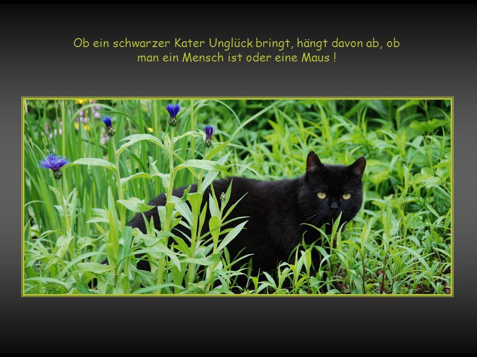 Ob ein schwarzer Kater Unglück bringt, hängt davon ab, ob man ein Mensch ist oder eine Maus !