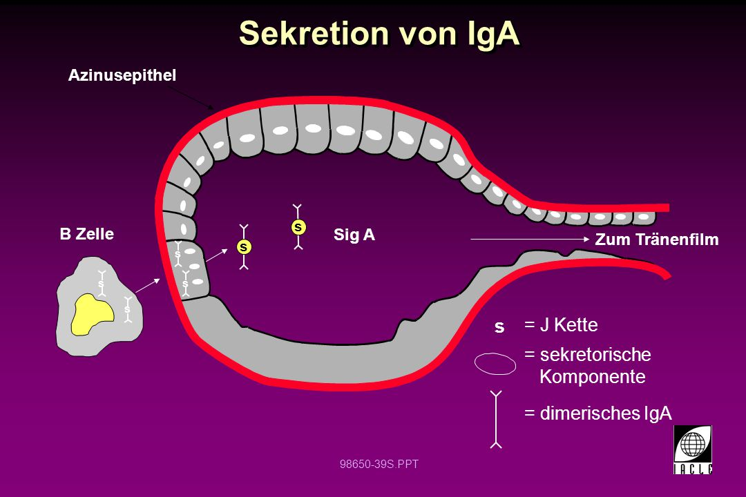 Sekretion von IgA s = J Kette = sekretorische Komponente