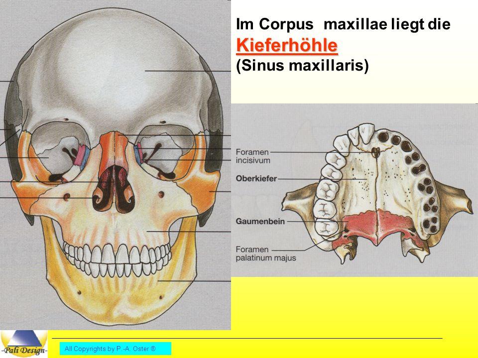 Im Corpus maxillae liegt die Kieferhöhle (Sinus maxillaris)