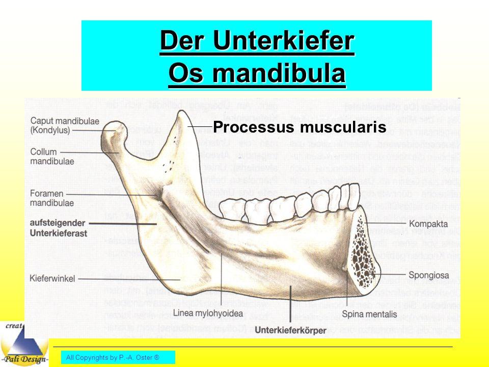 Der Unterkiefer Os mandibula
