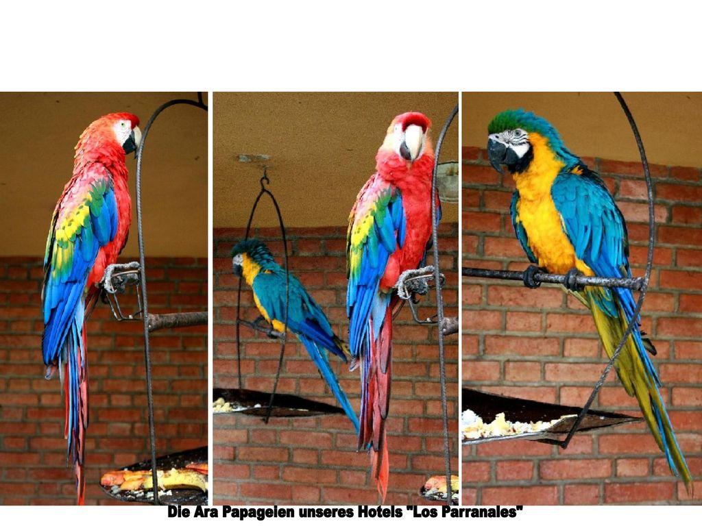 Die Ara Papageien unseres Hotels Los Parranales