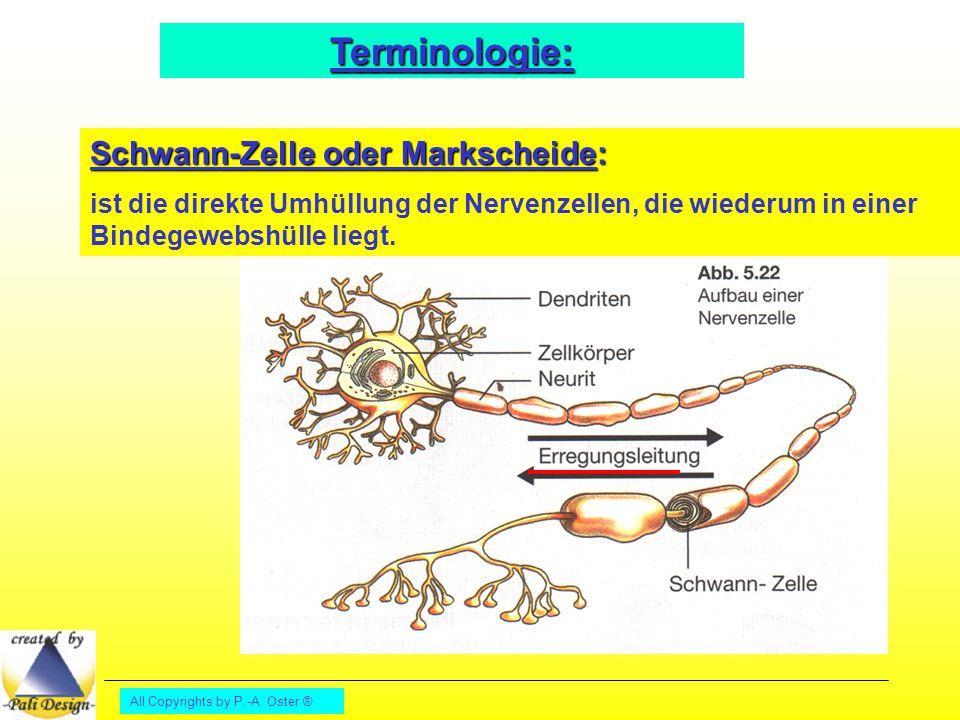 Terminologie: Schwann-Zelle oder Markscheide: