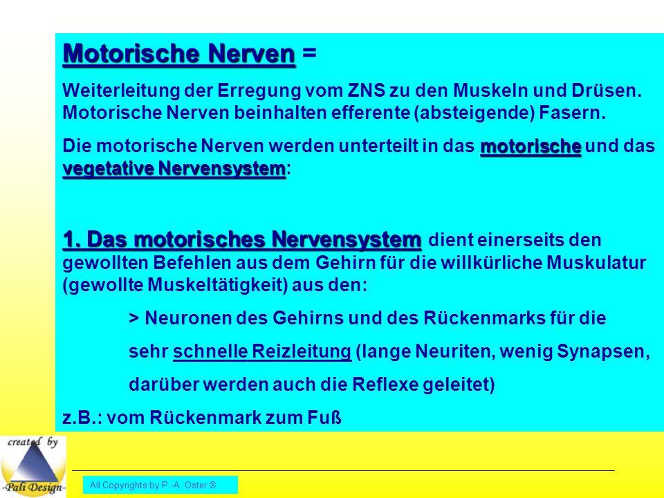 Motorische Nerven = Weiterleitung der Erregung vom ZNS zu den Muskeln und Drüsen. Motorische Nerven beinhalten efferente (absteigende) Fasern.