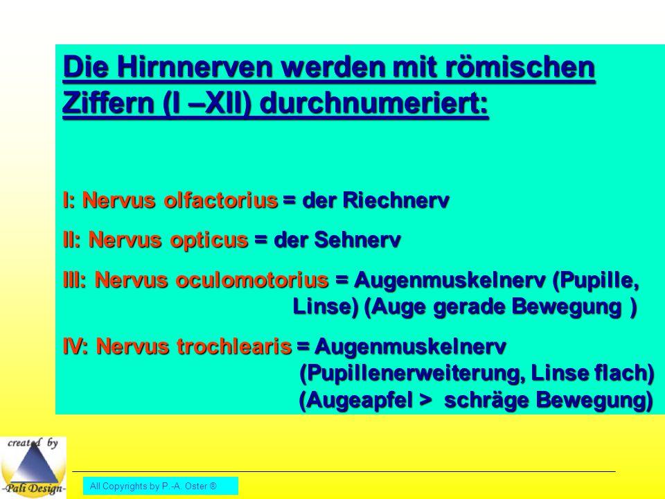 Die Hirnnerven werden mit römischen Ziffern (I –XII) durchnumeriert: